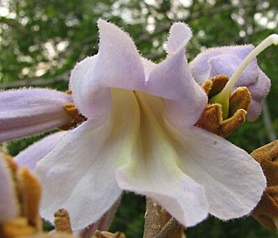 Paulownia tomentosa - The Empress Tree - 50 Fresh Seeds - Very Fast Growing