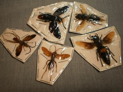 5 insects location data Wasp Megascolia azurea etc.  species 2   inches A 1