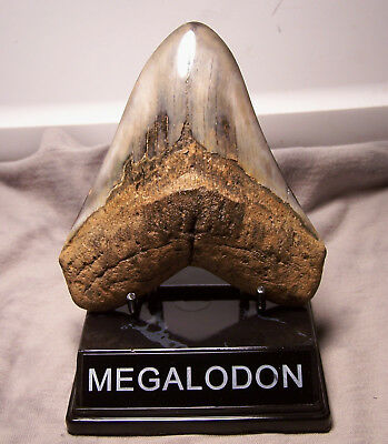 "Awesome 4 7/8"" Megalodon Shark Tooth Teeth Extinct Jaw Fossil With Display Stand"