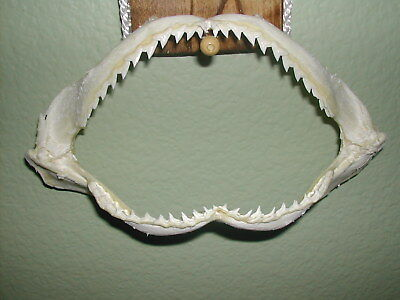 """Our Best!  Fla.grade.#1 Killer! Shark Jaws 8.5"""" L X 7 In.w X 4"""" Tall Open Mouth"""