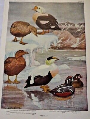 Vintage Lot of 2 1944 BIRDS OF AMERICA Ornithology Plate Print by Louis Fuertes