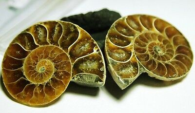 Fossil-AMMONITE-Iridescent COLOR-PLAY Snail,151.6ct,36x30x17mm,(2pc)FOS-C58B