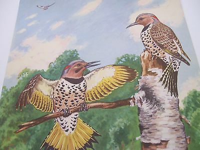 "Vintage1930's/40's Lithograph ""Pair of Flicker on Birch Stump "" by Jacob Abbott"