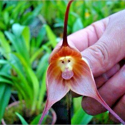 10  MONKEY FACE ORCHID SEEDS - Orchis simia