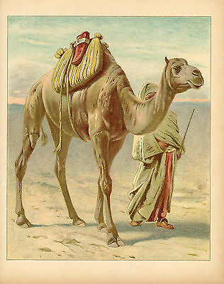 Camel With Arab Man In Desert Arabian Oasis Arabia Animal Antique Lithograph