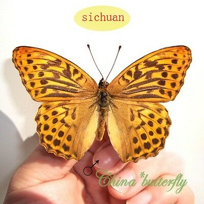 2 unmounted butterfly nymphalidae argynnis paphia SICHUAN A1