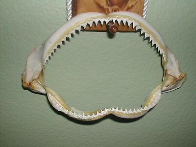 "Our Best!  Fla.grade.#1 Killer! Shark Jaws 8"" L X 6 In. W X 4"" Tall Open Mouth"