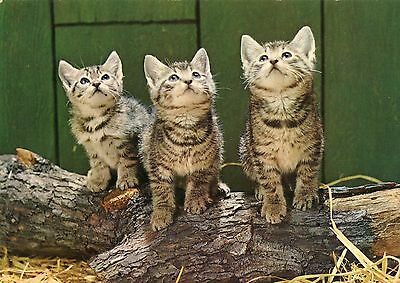 postcards cats cartoline gatti cat catz chats katzen gatos katten vintage age 60