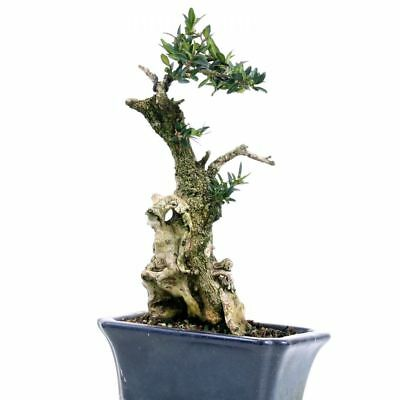 bonsai buxus sempervirens buchsbaum yamadori mit viel. Black Bedroom Furniture Sets. Home Design Ideas
