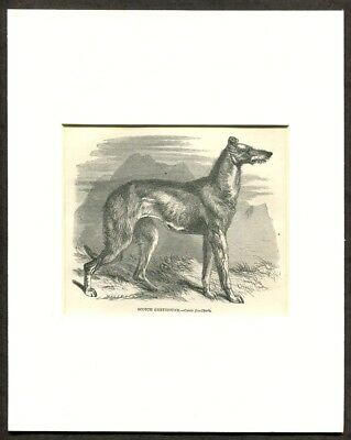 1865 Antique Print of a Scottish Deerhound