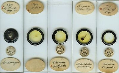 9 Fly Microscope Slides by E. Wheeler (sold by Watson)