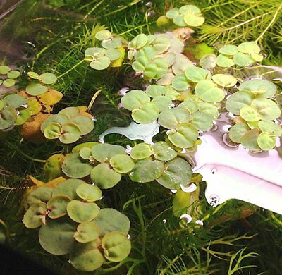 Phyllanthus fluitans - Aquarium or Pond Floating Plant - Generous Portion