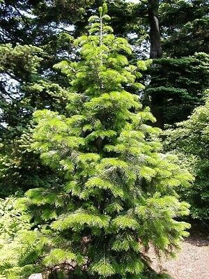 Abies pindrow - Pindrow Fir - Fresh Seeds