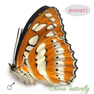 unmounted butterfly nymphalidae Athyma perius perius GUANGXI A1-