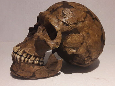 MOULAGE FOSSILE crane qafzeh 9 Homo neandertal skull hominid reproduction cast