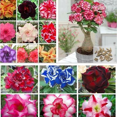 100Pcs Adenium Obesum seeds Desert Rose Seed Rare Bonsai Flower Seeds Mixed E24H