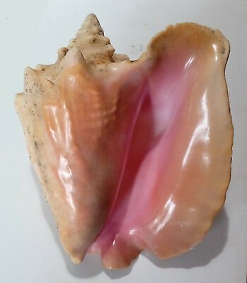 Conchiglia Shell STROMBUS GIGAS Haiti 225 mm # FRESH TAKEN, Cites included