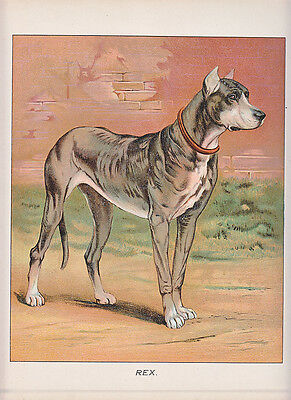 Great Danes Early Great Dane Dog Antique Print 1892