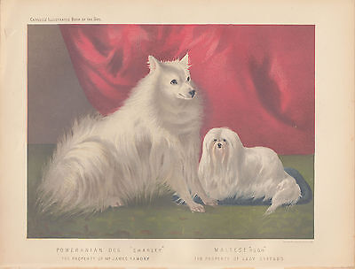Pomeranian Dog & Maltese Dog Antique Dog Lithograph 1881