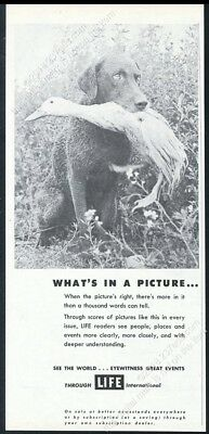1954 Chesapeake Bay Retriever photo with duck friend Life vintage print ad