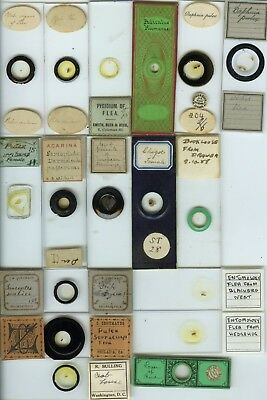 17 Flea/Louse Microscope Slides by Various Makers
