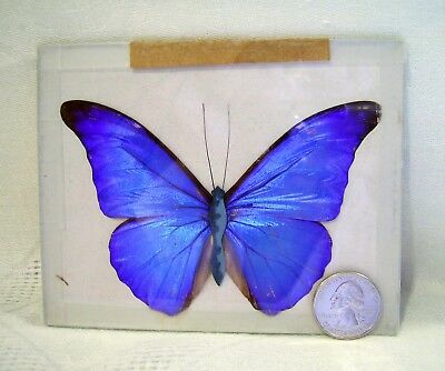"""Woodward Lothrop REAL Blue MORPHO DIDIUS Giant BUTTERFLY Glass MOUNTED 4.5""""L"""