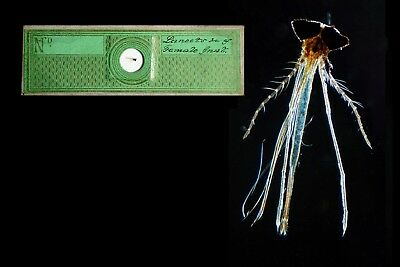 Antique Papered Microscope Slide ~ Lancets of Female Gnat ~ by C Poulton 1850s
