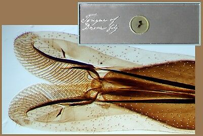 Antique Microscope Slide Insect ~ Tongue of Drone Fly ~ Diamond Engraved Label