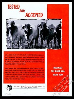 1977 Brahma Brahman cattle cow photo Texas Brahman Association vintage print ad