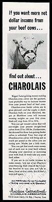1964 Charolais cattle cow photo American International Assn vintage print ad