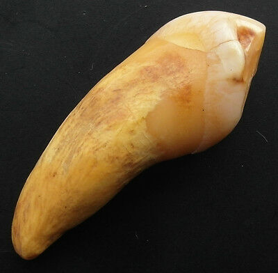 VERY RARE UK FOUND GENUINE CAVE BEAR TOOTH - 25000 years old