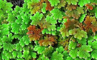 15 x 15 cm Mat of Azolla caroliniana - Aquarium or Pond Floating Fern