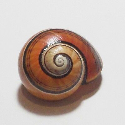 Polymita ] Beautiful Land Snail 26.95 Mm  [ Old Collection ]