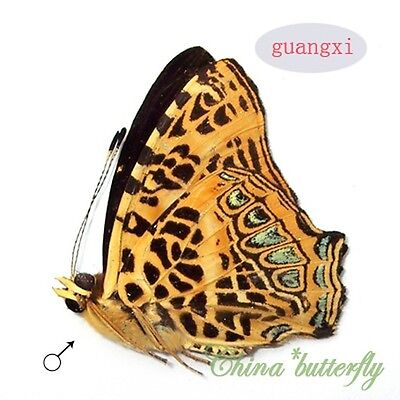 5 unmounted butterfly symbrenthia hypselis ARTWORK MATERIAL  A1 A1-