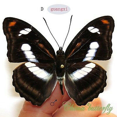 collection 2 pcs unmounted butterfly Nymphalidae Athyma cama GUANGXI  #D  A1 A1-