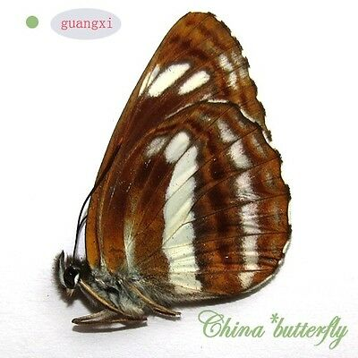 unmounted butterfly Nymphalidae neptis philyra GUANGXI  A1  #G9