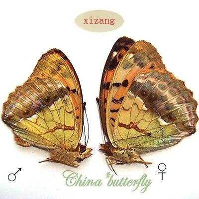 Tibet PAIR unmounted butterfly Nymphalidae Argyronome laodice A1- #XZ 6