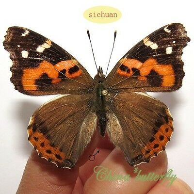 unmounted butterfly nymphalidae vanessa indica GUANGXI SPRING FORM A1
