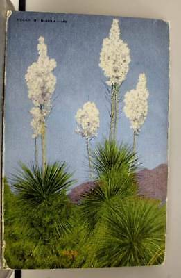 Scenic Yucca Bloom Postcard Old Vintage Card View Standard Souvenir Postal Post