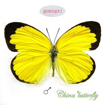 5 pcs YELLOW unmounted butterfly pieridae Eurema hecabe GUANGXI  A1 A1-