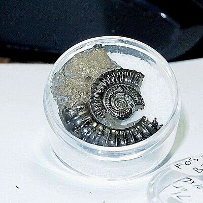 AMMONITE-gold pyrite LARGE NATURAL 28.71ct , double side FOS-B20