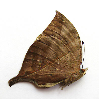 unmounted butterfly Nymphalidae kallima inachus yunnan of CHINA  A1-