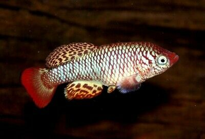 30 Eggs of Nothobranchius rachovii «Beira 98» • Albino • (Killifish)