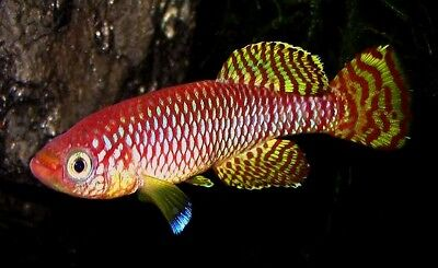 30 Eggs of Nothobranchius ruudwildekampi «TZHK 09-03» (Rare Killifish)