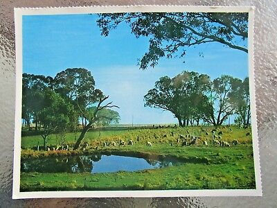 Postcard Sheep Grazing Bowral District  Nsw   - Postage $1.50