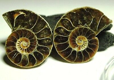 Fossil-AMMONITE-Iridescent COLOR-PLAY Snail,29.75ct,24x20x5mm,(2pc)FOS-C59A