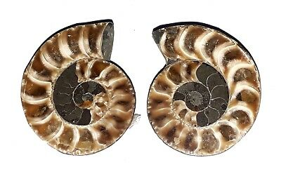 AAA Quality Ammonite Fossal Natural Loose Gemstone 37x19 mm 156 Ct 2 Piece(pair)