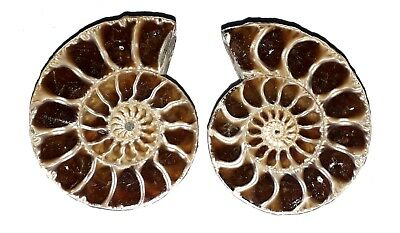 AAA Quality Ammonite Fossal Natural Loose Gemstone 38x30 mm 153 Ct 2 Piece(pair)
