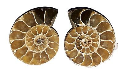 34x27mm 108Ct AAA Quality Ammonite Fossal Natural Loose Gemstone 2 Piece(pair)