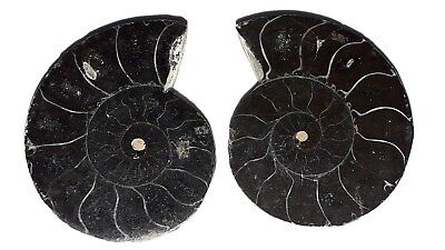 34x26mm 88 Ct AAA Quality Ammonite Fossal Natural Loose Gemstone 2 Piece(pair)